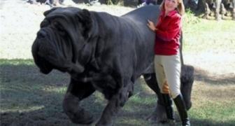 10 najväčších strážnych psov na svete