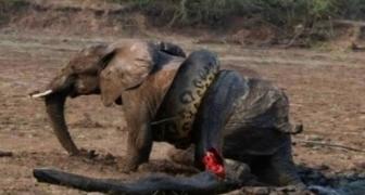 Krutý súboj: Smrteľný útok levov na slona