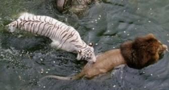 Lev vs ostatní: tiger, krokodíl, byvol - súboje na smrť