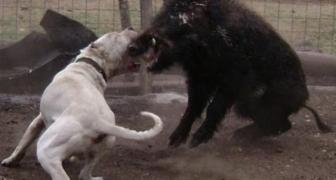 TOP 10 najsilnejších útočných psov sveta súčasnosti