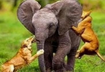 TOP zvieracie bitky na život a na smrť