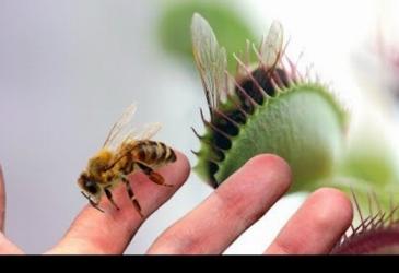 Veľká mucholapka vs včela