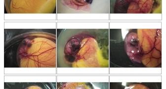 Vývin kuriatka vo vnútri vajíčka