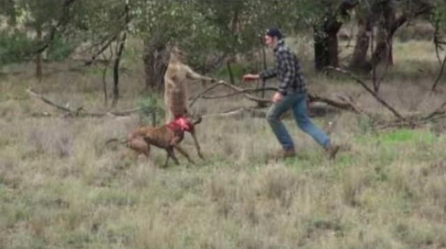 Boxový súboj muža a klokana: záchrana psa pred kengurou