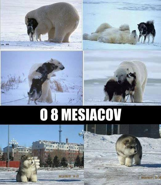 Keď sa skríži ľadový medveď s Huskym